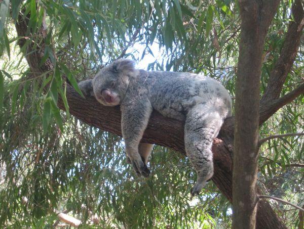 Спящая на эвкалипте коала