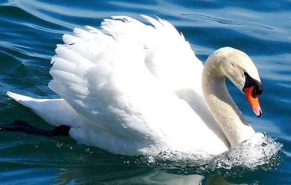 Лебеди занесены в Красную книгу